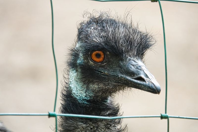 Emu One Animal Animal Themes Animal Bird Vertebrate Animal Wildlife Animals In The Wild Close-up No People Beak Animals In Captivity Animal Body Part Day Cage Animal Head  Fence Zoo Barrier Nature Boundary