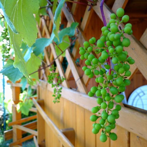 Winegrapes Grapes Green Nature Nature_collection Nature Photography