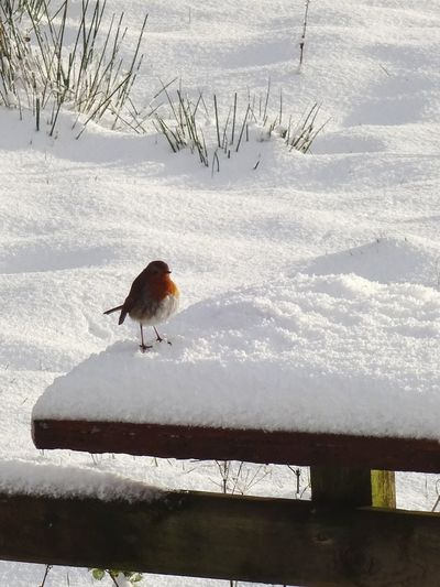 Snow Winter Cold Temperature Animal Wildlife One Animal Bird Animals In The Wild Nature Beauty In Nature Robin Redbreast Robin Bird Table Snow ❄ Garden Photography Beautiful Love Mobile Phone Photography