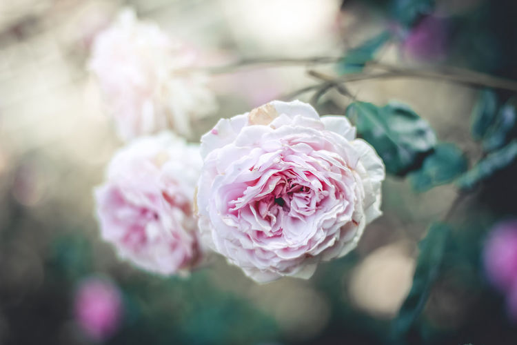 Bright flowers Flower Flowering Plant Beauty In Nature Freshness Petal Close-up Pink Color Rosé Inflorescence Fragility Rose - Flower Growth Focus On Foreground Springtime
