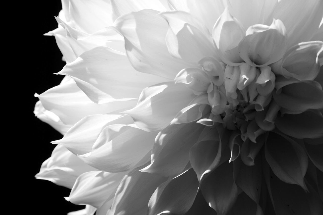 flower, petal, flower head, fragility, beauty in nature, black background, white color, nature, studio shot, freshness, no people, close-up, outdoors, day