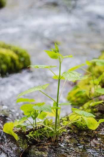 Beauty In Nature Close-up Day Focus On Foreground Fragility Freshness Green Color Growth Leaf Nature No People Outdoors Plant Plants Found In Rivers And Streams Plants That Live In Rivers Rivers And Streams Climate Tranquility