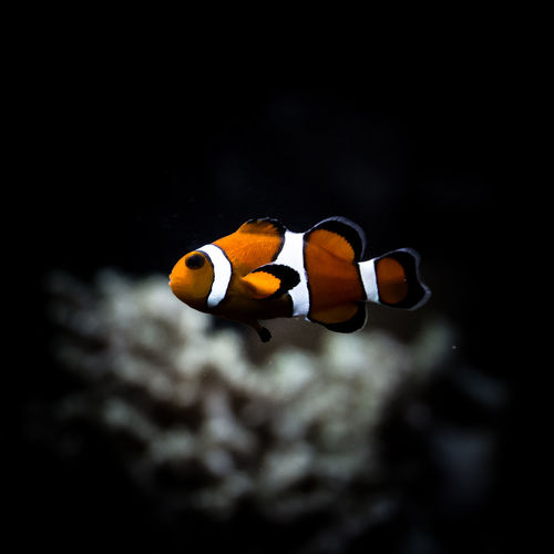 Beauty In Nature Blue Close-up Clownfish Finding Nemo Fish Fishing Focus On Foreground Multi Colored Nature No People Orange Color Outdoors Pixar  SCUBA Scuba Diving Selective Focus Tranquility Underwater Wildlife Yellow