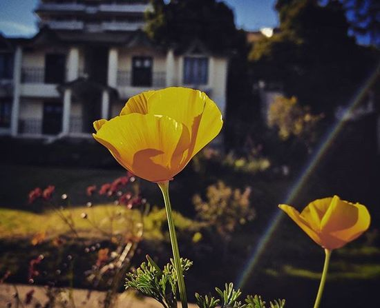 Yellow Flowers Dancing In Cool Breeze Wind Fresh Sunny Day Kodai Lensglare Rainbow On Screen Lovely Colors Of Nature Pure Awesome Green
