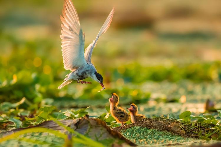 逆光须浮鸥育雏,摄于高邮湖