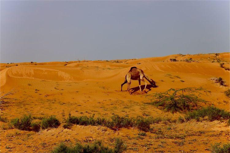 Man riding motorcycle on desert against sky