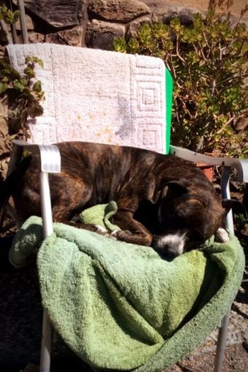 Sleeping Dog Pit Bull Pets Daily Cute Pets Dogs