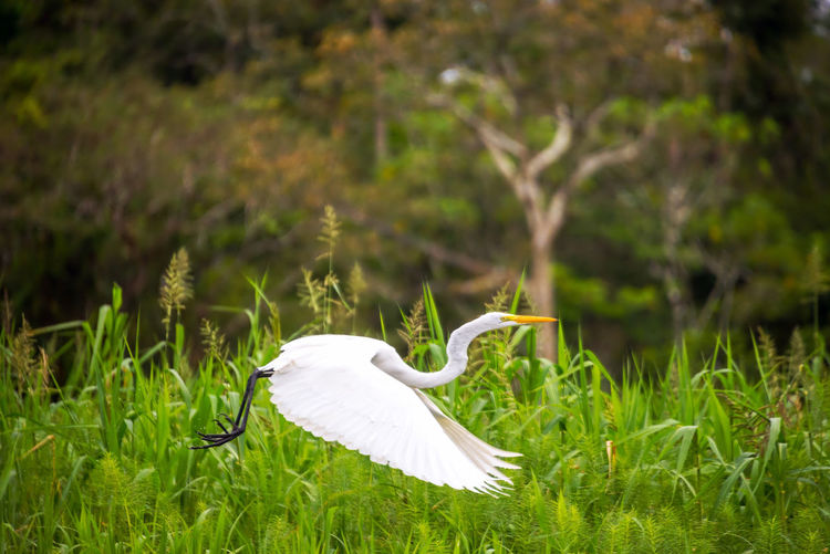 View of a great white heron taking off in the Amazon rainforest in Peru Amazon Amazonas Animal Background Bird Brazil Color Egret Egrets Environment Forest Heron Iquitos  Iquitos, Perú Jungle Lake Landscape Nature Outdoors Peru Rain Forest River Water Wetland Wildlife