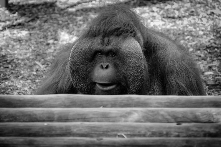 Portrait of an orangutan in zoo