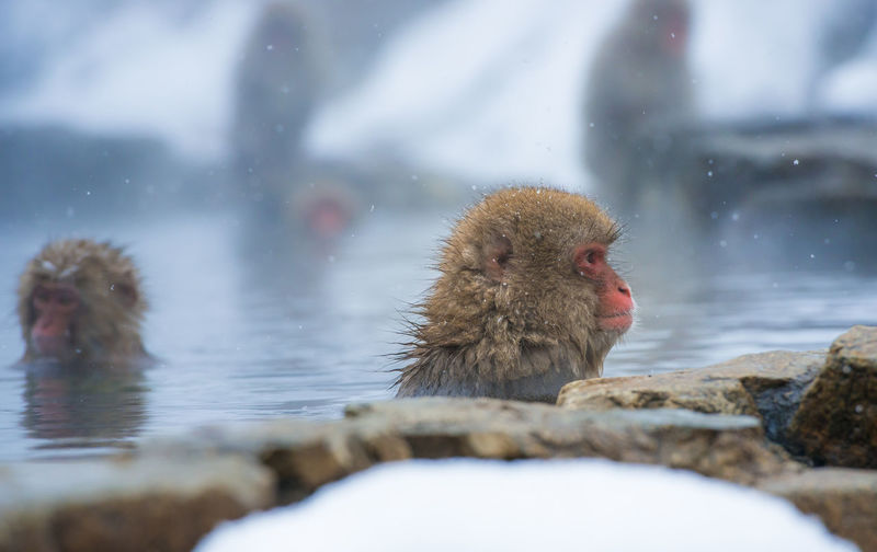 Snow monkey in a hot spring, Nagano, Japan. Animal Themes Animal Wildlife Animals In The Wild Bird Cold Temperature Day Hot Spring Japanese Macaque Mammal Monkey Nature No People One Animal Outdoors Swimming Water Waterfront Winter