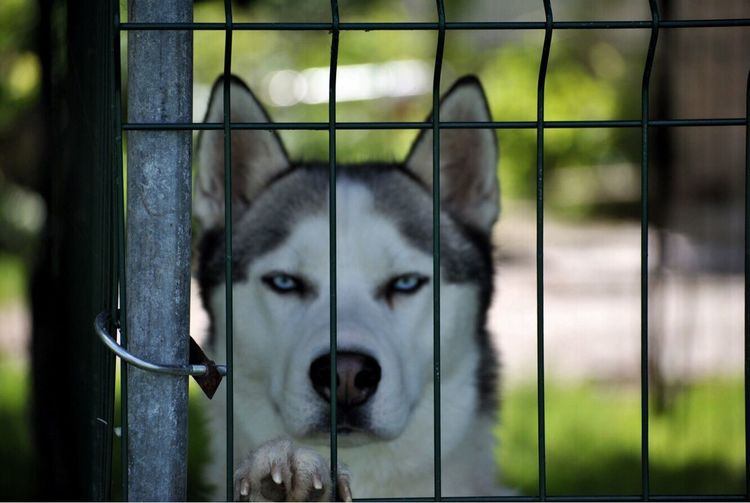 Pet Portraits Acis Husky Dog Bestfriend Eagle Eye Siberian Husky Lithuania Pet Portraits