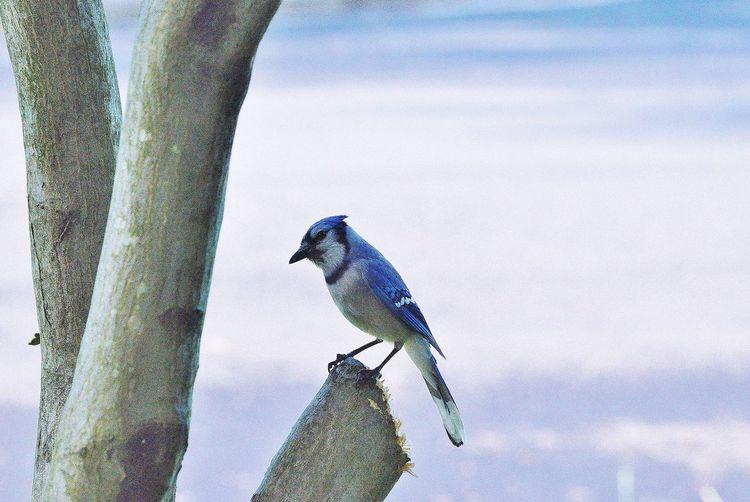 Blue jay perching on a tree stump Animal Themes Beauty In Nature Bird Bird Profile Blue Jay Blue Jay Profile Blue Jays Focus On Foreground Nature Outdoors Perbirdching Perching Perching Bird Perching Blue Jay Wildlife Wooden Post