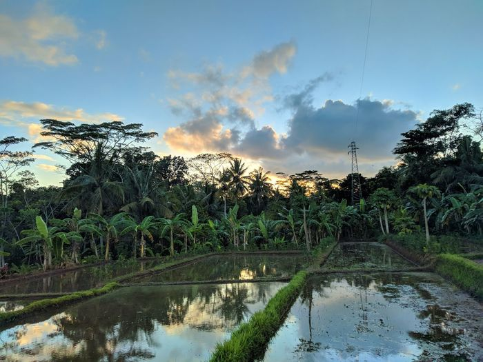 beautiful sunset in rice paddy Sunset Romantic Sky Nature #photography #Wallpaper #Nature  Tree Water Rice Paddy Flood Palm Tree Irrigation Equipment Lake Reflection Agriculture Rural Scene Reflection Lake Tropical Tree