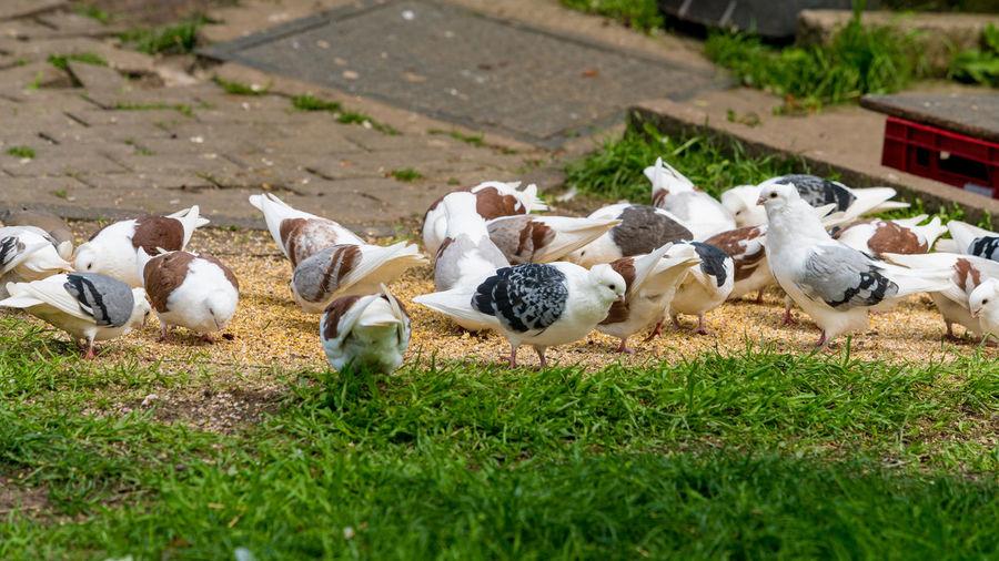 Flock of birds in grass