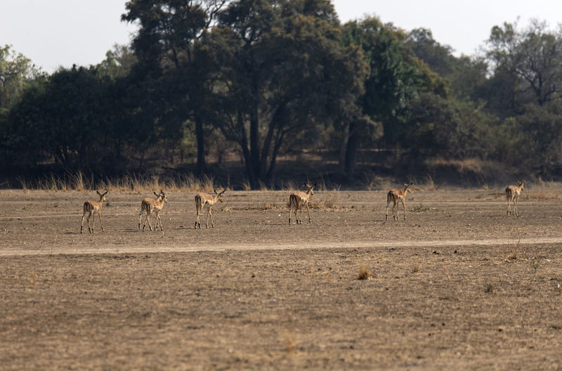 Flock of impslas on a field