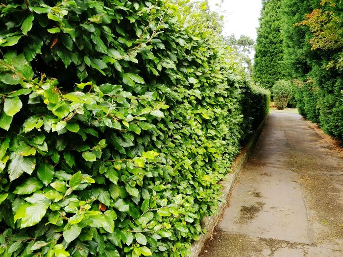 Growth Green Color Nature Plant Day Outdoors No People Tree Sky Beechleaves Beech Hedge Botanical Garden Green Plant Life Vegetation Shaped Foliage Flora