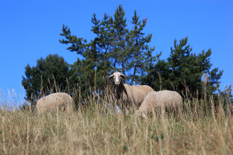 Sheeps on the pasture Grazing Sheep Pasture Animal Animal Themes Animal Wildlife Day Domestic Domestic Animals Field Grass Herbivorous Land Livestock Mammal Nature No People One Animal Paddock Pets Plant Sheep Sheeps Side View Sky Tree Vertebrate