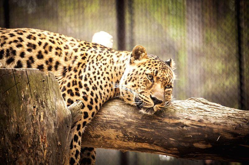 Leopard relaxing on log in zoo