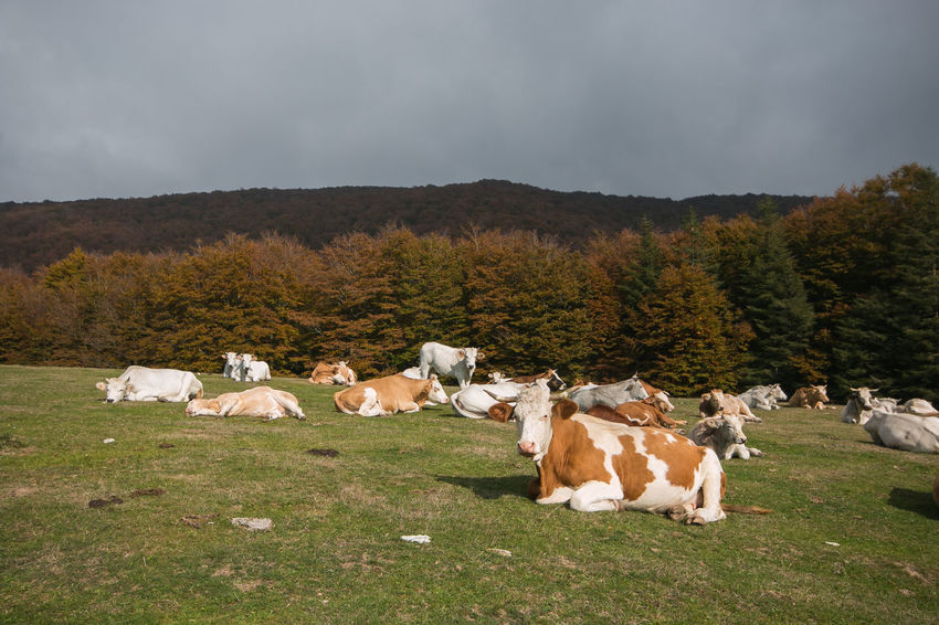 Group of cattles or cows at pasture in the green mountain meadow Agriculture Autumn Grazing Livestock Pasture Rural Animal Animal Themes Autumnal Cattle Cows Environment Foliage Forest Grazing Cattle Group Of Animals Herbivorous Italy Landscape Mammal Monte Cucco Nature Paddock Rural Scene Umbria