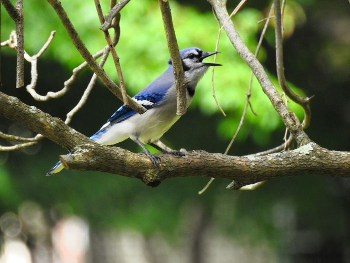 Blue Jay on a branch...screaming. Perched Bird On Branch Wildlife Wildlife & Nature Wildlife Photography Birdwatching Blue Bird Blue Jay Blue Jays Blue Jay Bird Birds Bird Photography Bird Watching Birding Ornithology  Animals In The Wild Animal Themes Beauty In Nature Blue Green Leaves Branch Bird Perching Tree Branch Close-up Tail