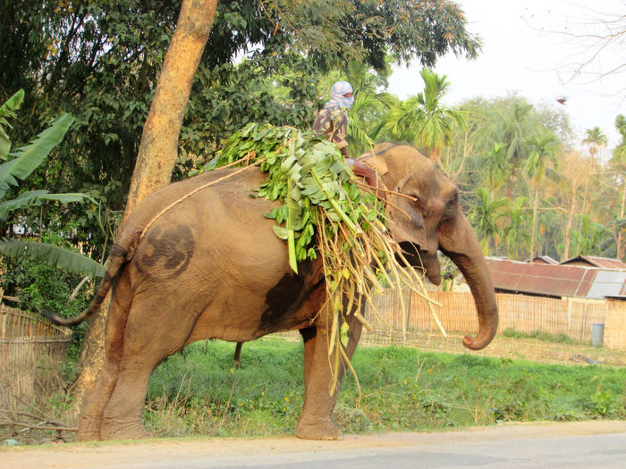 Man riding on elephant with foods(tree leaves). Animal Themes Tree Animal Plant Mammal One Animal Animal Wildlife Domestic Animals Side View Nature Day Elephant Herbivorous Full Length Land Outdoors Profile View Daily Life Struggle Streetphotography Trunk Tail EyeEm Best Shots EyeEmNewHere Beauty In Nature