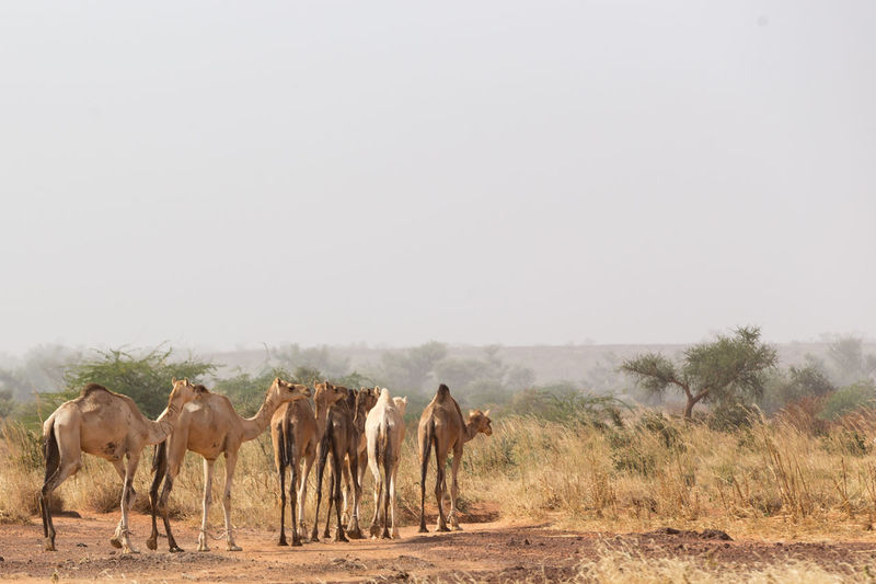 A pack of camels moves across the sahel landscape. Agriculture West Africa Africa Arid Climate Camel Camels Clear Sky Day Domestic Animals Landscape Nature Outdoors Sahel Sky