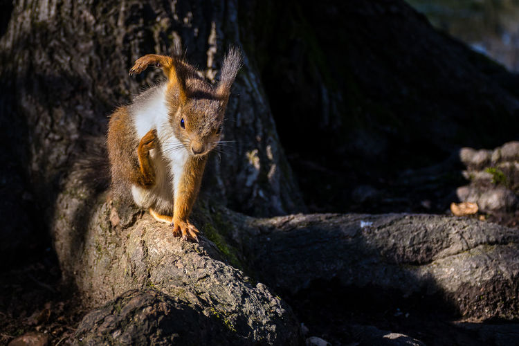Squirrel gymnast Animal Animal Themes Animal Wildlife Animals In The Wild Close-up Day Focus On Foreground Mammal Nature No People One Animal Outdoors Rock Rock - Object Rodent Solid Squirrel Tree Wood - Material