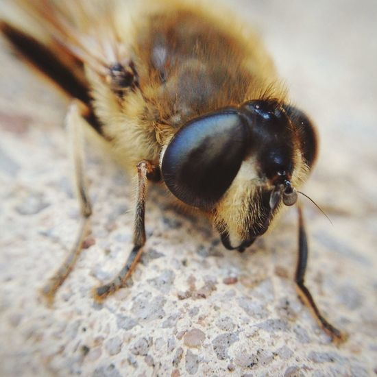 Out of season Bee Macro Nature Macro Nature Insects  Eyes Details Face Worker Bees Close-up Tiny World