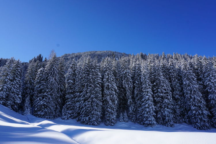 Snow covered plants against clear blue sky