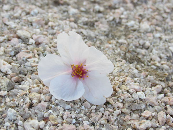 Beautifull Flowers Cherry Blossom Cherry Leaf Close To Ground Japan Peace And Harmony Rock Sakura Sakura Leafs Sakura Leaves Sand Sand Shadows & Lights Single Cherry Bloom Single Leaf White Cherry Blossom