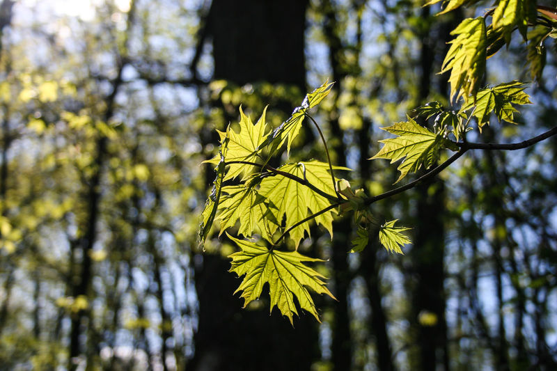 Beauty In Nature Branch Day Green Color Growth Leaf Maple Maple Leaf Maple Leaves Maple Tree Nature No People Spring Spring Leaves Springtime Tree