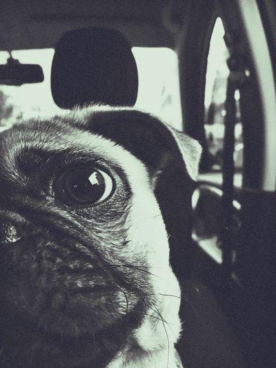 Cocoliso's Way Pug