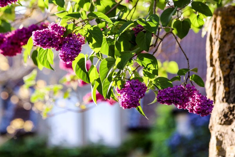 Devotion to laziness is never lazy. Lilac Plant Growth Leaf Freshness Plant Part Nature Day No People Beauty In Nature Focus On Foreground Tree Close-up Purple Flowering Plant Flower