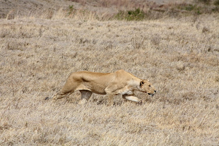 Side view of lioness walking on field