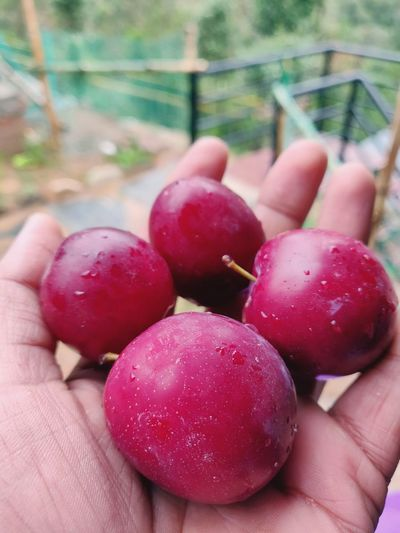 Fresh Plums Oneplus Oneplus6 Awesomely Creative Cute Moody EyeEm EyeEmAwards Noida Market India Krvishaljha Oneplusphotograpgy Human Hand Healthy Lifestyle Fruit Red Holding Agriculture Human Finger Close-up Food And Drink Plum Plum Blossom Ripe Picking
