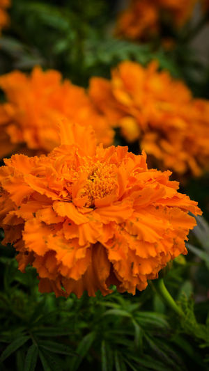 bloomin' EyeEmNewHere Beauty In Nature Blooming Close-up Day Flower Flower Head Fragility Freshness Growth Marigold Nature No People Orange Color Outdoors Petal Plant Yellow