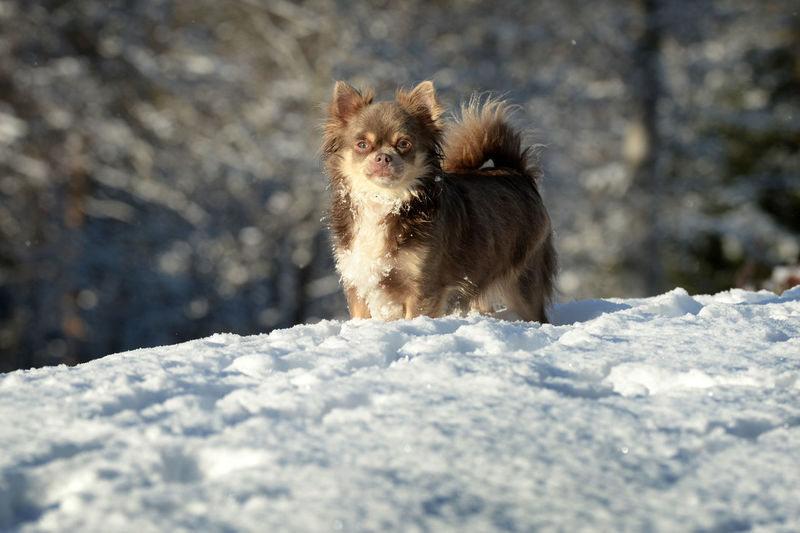 Norway Animal Animal Themes Animals In The Wild Canine Chichuahua Cold Temperature Day Dog Domestic Domestic Animals Looking At Camera Mammal Nature No People One Animal Pets Portrait Small Snow Snowcapped Mountain Vertebrate Winter