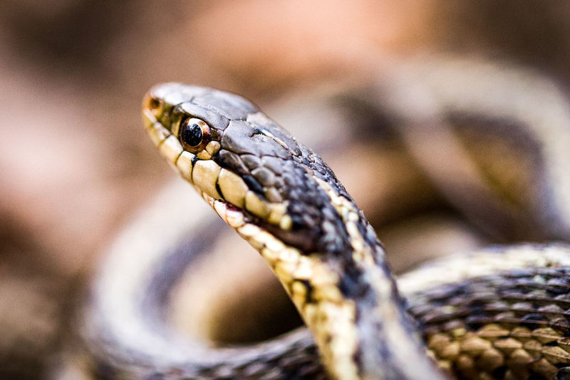 Animal Wildlife One Animal Animals In The Wild Close-up Animal Themes Nature No People Reptile Day Outdoors Snake Snake Eyes