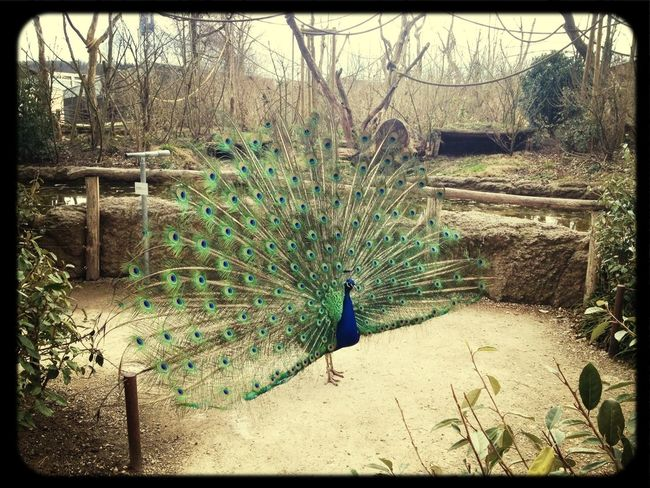Watching A Peacock