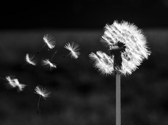 Beauty In Nature Blackandwhite Close-up Dandelion Dandelion Seed Day Flower Flower Head Flowering Plant Focus On Foreground Fragility Freshness Growth High Contrast Black And White Inflorescence Nature No People Outdoors Plant Plant Stem Softness Vulnerability  Wilted Plant