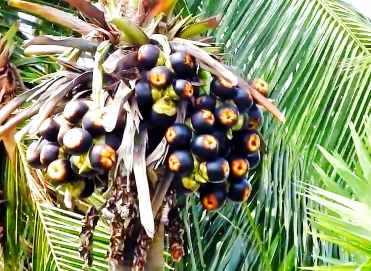Asian Palmyra palm Hi! Hello World Taking Photos Check This Out Eye4photography  Eyeem4photography EyeEm EyeEm Gallery Palmyra Palm Palmyra Fruit Fruit Photography Fruitporn Toddy Palm Toddy Toddy Time Nutritious Nutritious Fruit Sugar Palm Body Coolant Cool Fruit Bunch Of Fruits Black