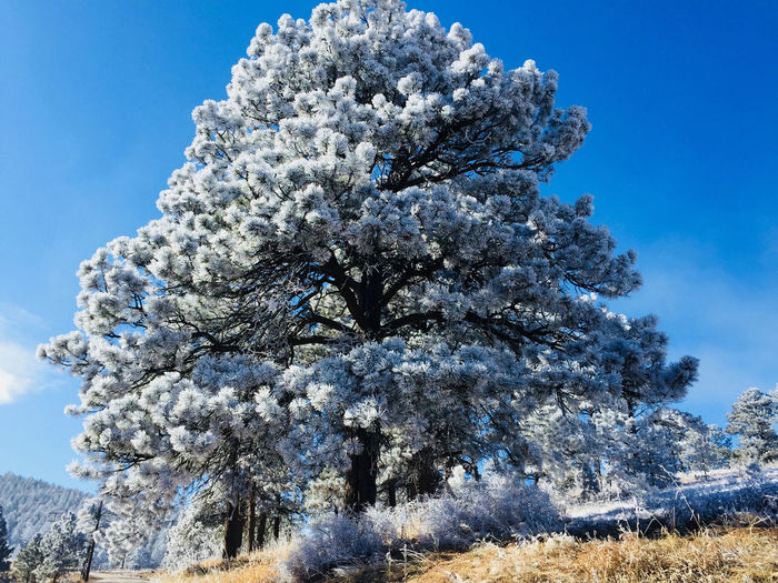 rime ice on a tree Hard Rime Frost Pine Tree Coniferous Tree Outdoors Scenics - Nature Tranquility Cold Temperature No People Snow Nature Beauty In Nature Tree Plant Rime Ice Hoarfrost Hoarfrost On The Tree Hoar Frost