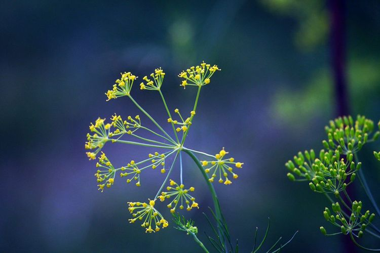 Plant Flower Growth Flowering Plant Focus On Foreground Freshness Close-up No People Day Outdoors Plant Part Petal Plant Stem Green Color Fragility Vulnerability  Nature Dill