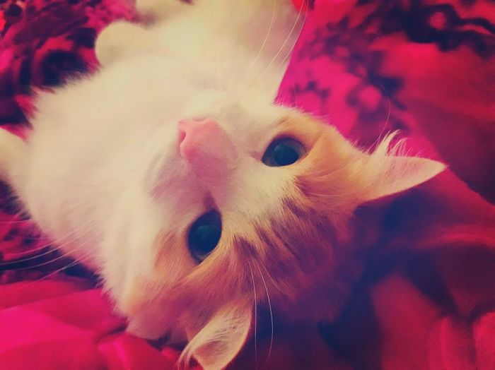 Bed Bedtime Animal Themes Bigeyes Cat Close-up Day Domestic Animals Hotpink Indoors  Mammal No People One Animal Pets Streching Turnoffthelights