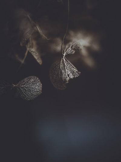 Dark and moody macro dead hydrangea skeleton Macro Wilted Flower Hydrangea Flower Brown Decay
