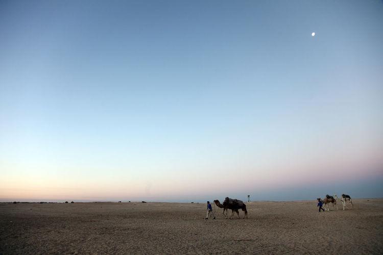 Morning in Sahara desert Africa Arid Camel Desert Dry Dune Heat Hot Landscape Mammal Nature NOMAD Oasis Safari Sahara Sand Transportation Travel Tuareg Tunisia Voyage Waterless Wild Wilderness Wildlife