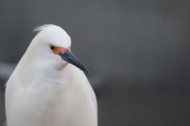 Animals In The Wild Beak Bird Close-up Day Heron One Animal White Bird White Color