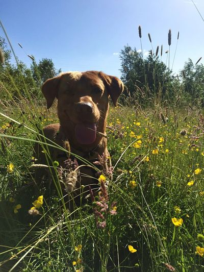 Red Labrador Fox Red Lab Labrador Plant One Animal Pets Mammal Animal Themes Domestic Animals Domestic Vertebrate Animal Dog Flowering Plant Nature Sky Land Canine Flower Grass Field Growth No People