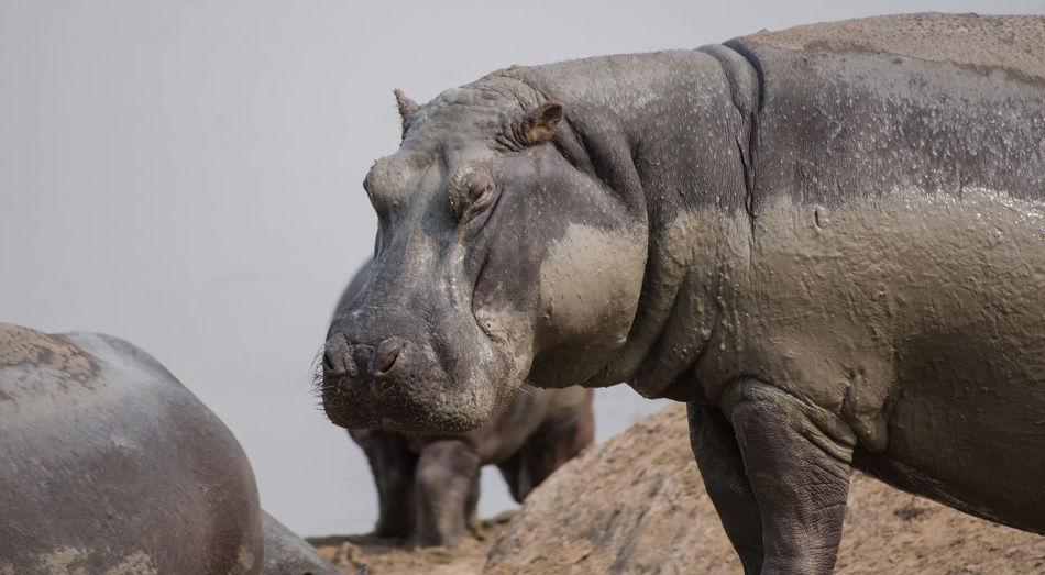 Close-Up Of Muddy Hippopotamus Against Sky
