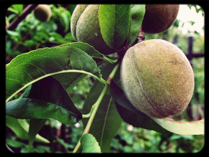 Lets punch,Capn Crunch! That's peach:3 Fruit EyeEm Best Shots Taking Photos